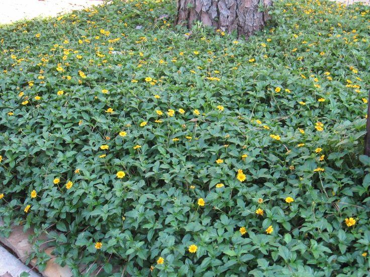 Cúc Xuyến Chi, nơi tạo màu xanh và điểm vàng cho không gian xanh đẹp hơn