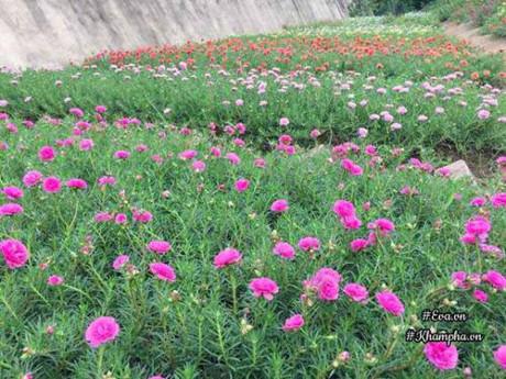 Những hoa mười giờ với nhiều màu sắc khác nhau.