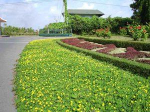 Trồng cỏ lạc tạo nên không gian đẹp cho nhà bạn.