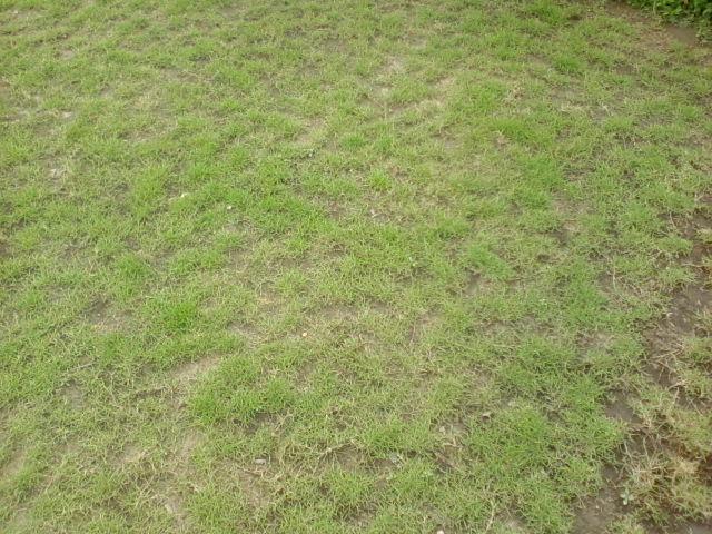 Trồng cỏ nhung nhật theo phương pháp cấy