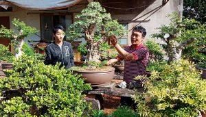 Để cây kiểng phát triển tốt cần chăm sóc, cải tạo cây kiểng thường xuyên