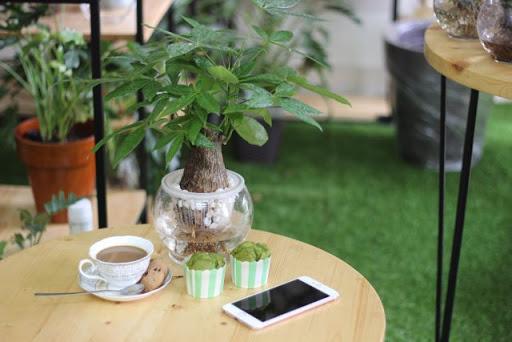 Chăm sóc cây Kim Ngân