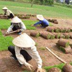 Công ty trồng cỏ thảm tại VSIP Bình Dương