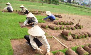 Thi công dịch vụ trồng cỏ thảm tại VSIP BÌnh Dương