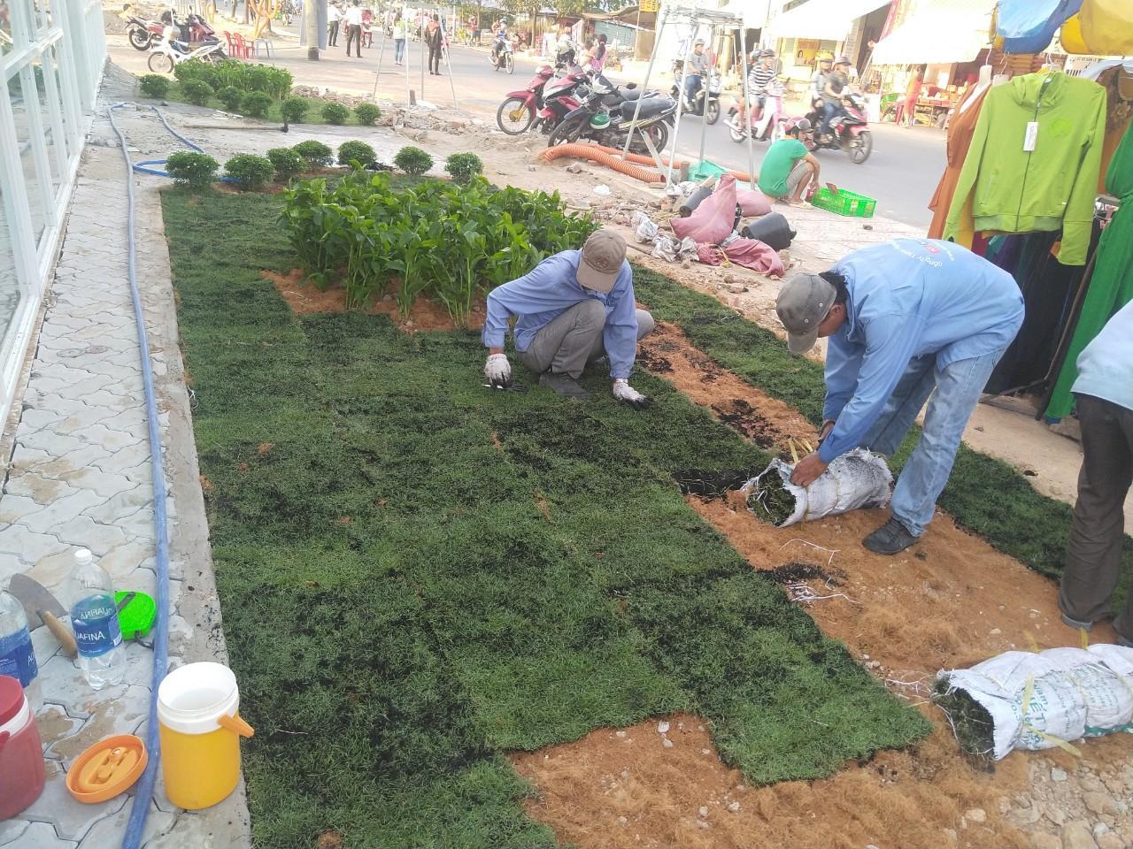 Thi công trồng cỏ thảm với Ngoại Thất Xanh