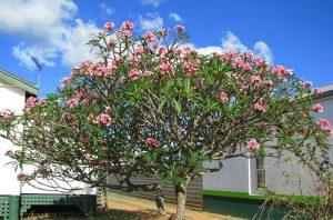 Bón phân cho cây sứ đại - Khi nào và như thế nào là hợp lý?