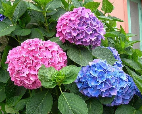 Hoa Cẩm Tú Cầu - Loài hoa mang nhiều ý nghĩa đặc biệt