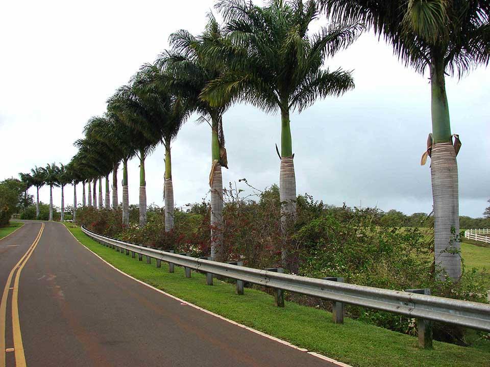 Cây Cau Vua - Loại cây phong thủy mang đến may mắn