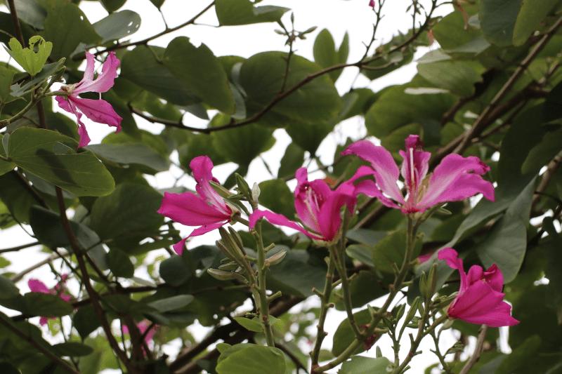 Cây Móng Bò - Ứng dụng phổ biến trong công trình cây xanh