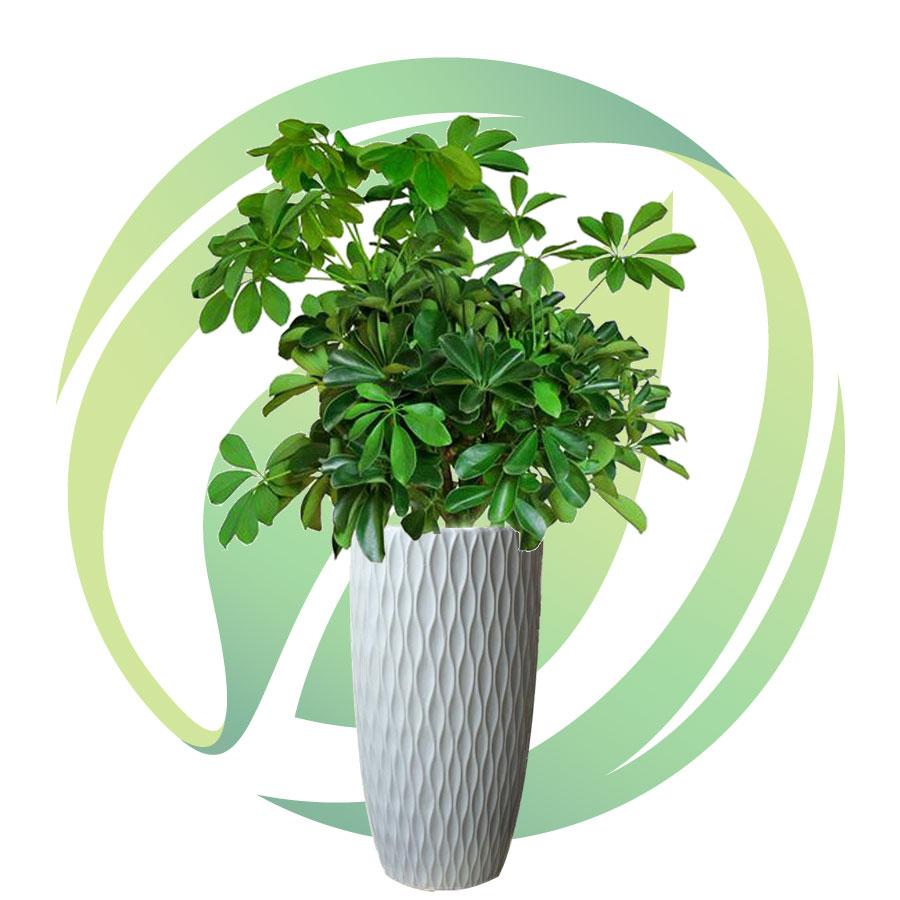 Cây Ngũ Gia Bì - Các lưu ý khi chăm sóc cây