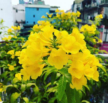 Cây Chuông Vàng - Cây công trình mang sắc vàng rực rỡ