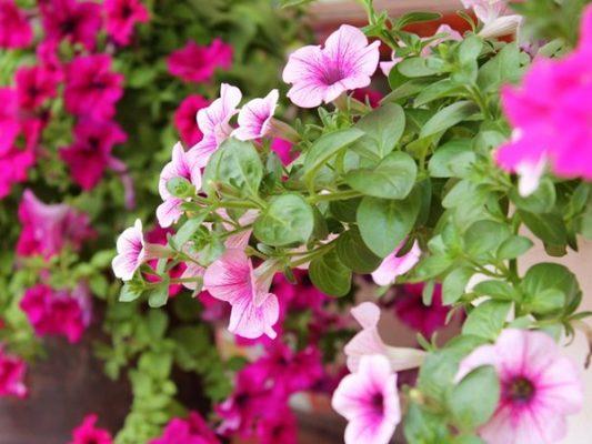 Cây Dạ Yến Thảo - Cây cảnh đang rất được ưa trồng hiện nay
