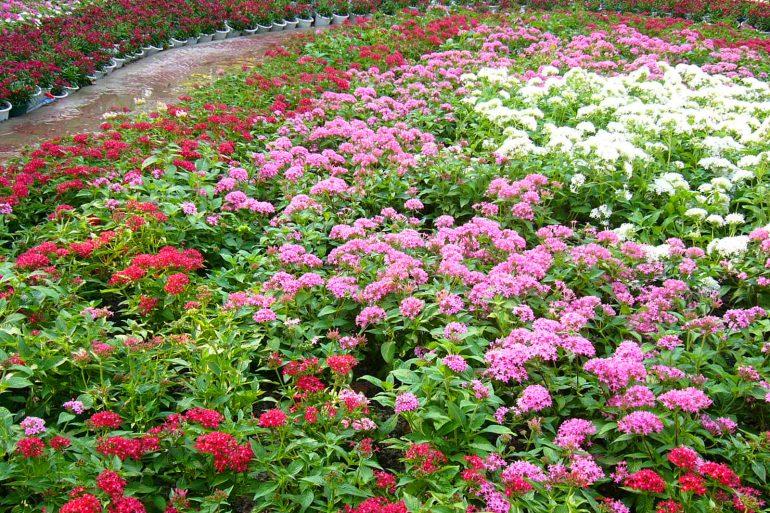 Hoa Diễm Châu - Những màu sắc rực rỡ