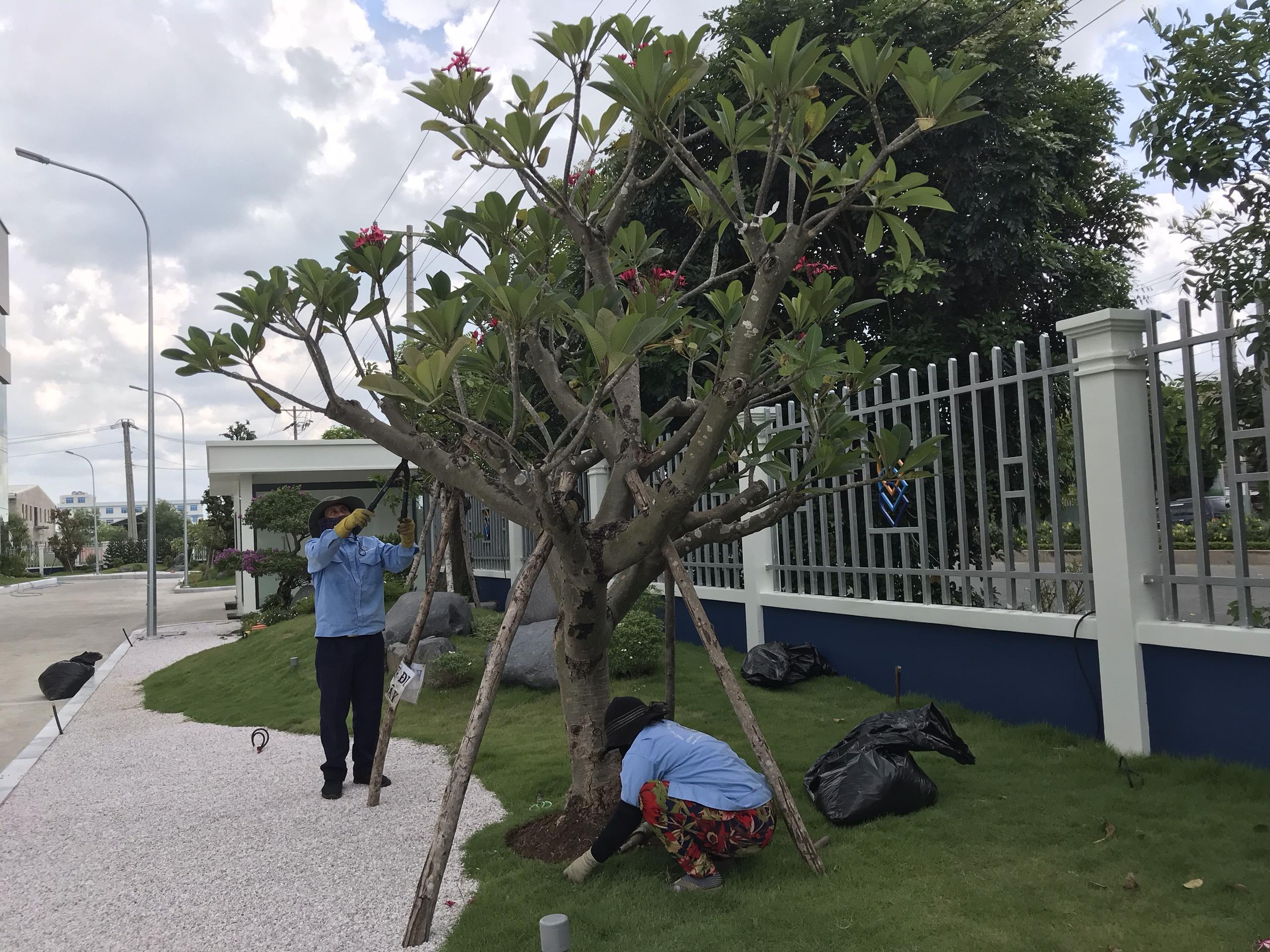 Dịch vụ cắt tỉa cây xanh tại Bình Phước uy tín