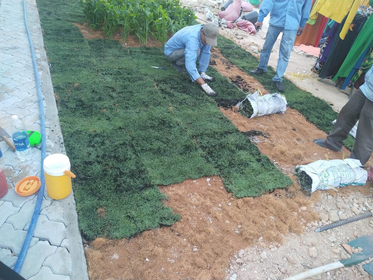 Dịch vụ trồng cỏ lá gừng tại Bình Dương của Ngoại Thất Xanh