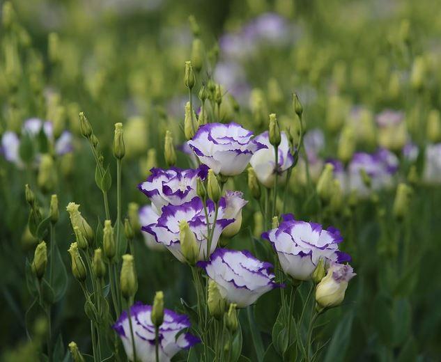 Hoa Cát Tường – Loài hoa tượng trưng cho sự may mắn