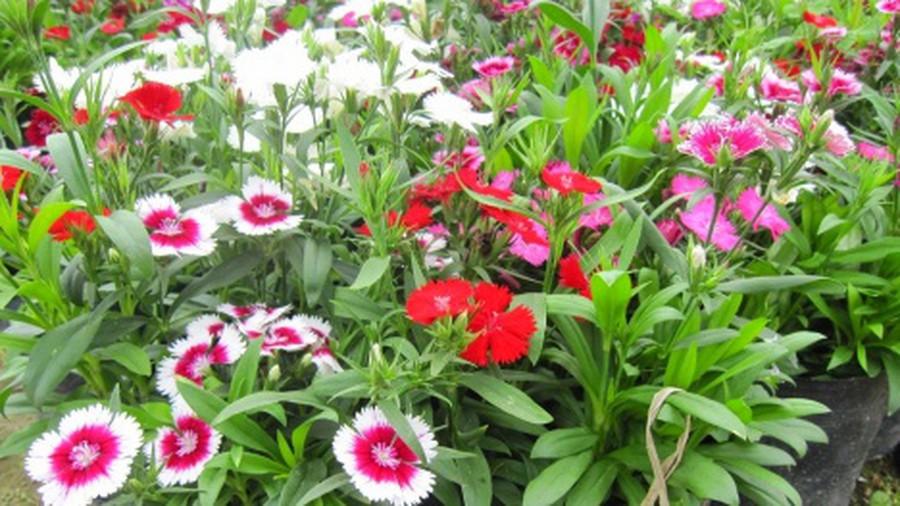 Cây hoa Cẩm Chướng - Cây cảnh xinh xắn