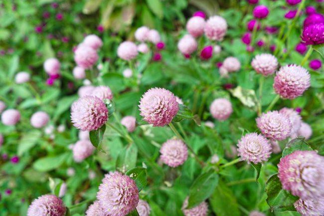 Cúc Bách Nhật - Trồng hoa tại nhà đơn giản