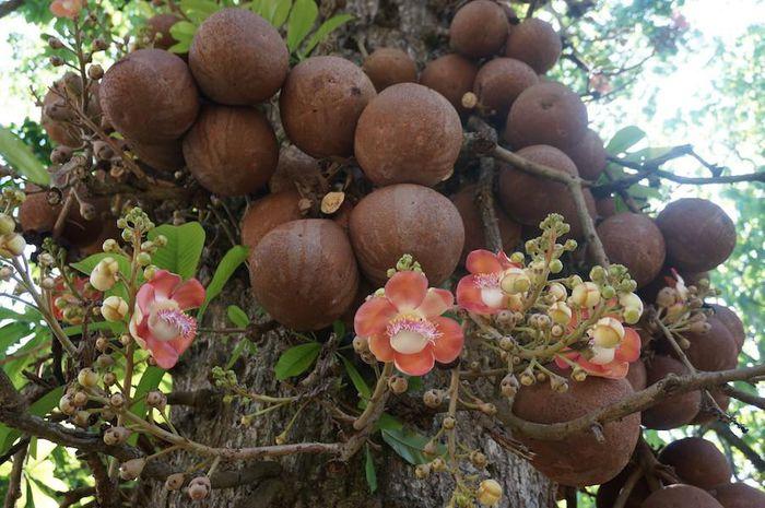 Cây Sala - Cây hoa linh thiêng nơi cửa Phật