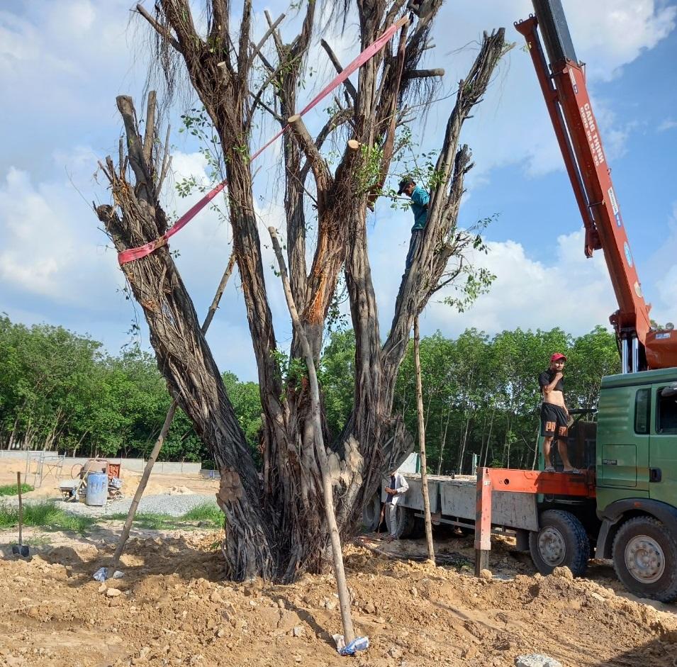 Thực hiện dịch vụ bứng cây tại Tây Ninh với Ngoại Thất Xanh