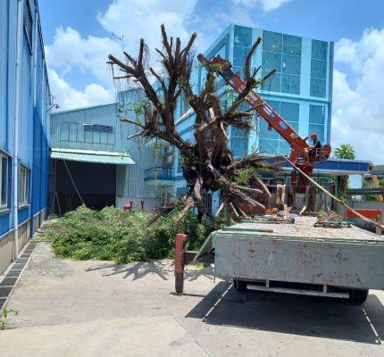 Dịch vụ bứng cây ở TPHCM uy tín, giá rẻ