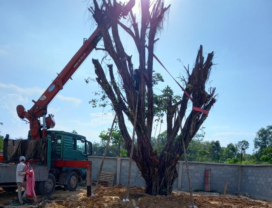 Ngoạt Thất Xanh thực hiện dịch vụ bứng cây tại Hồ Chí Minh